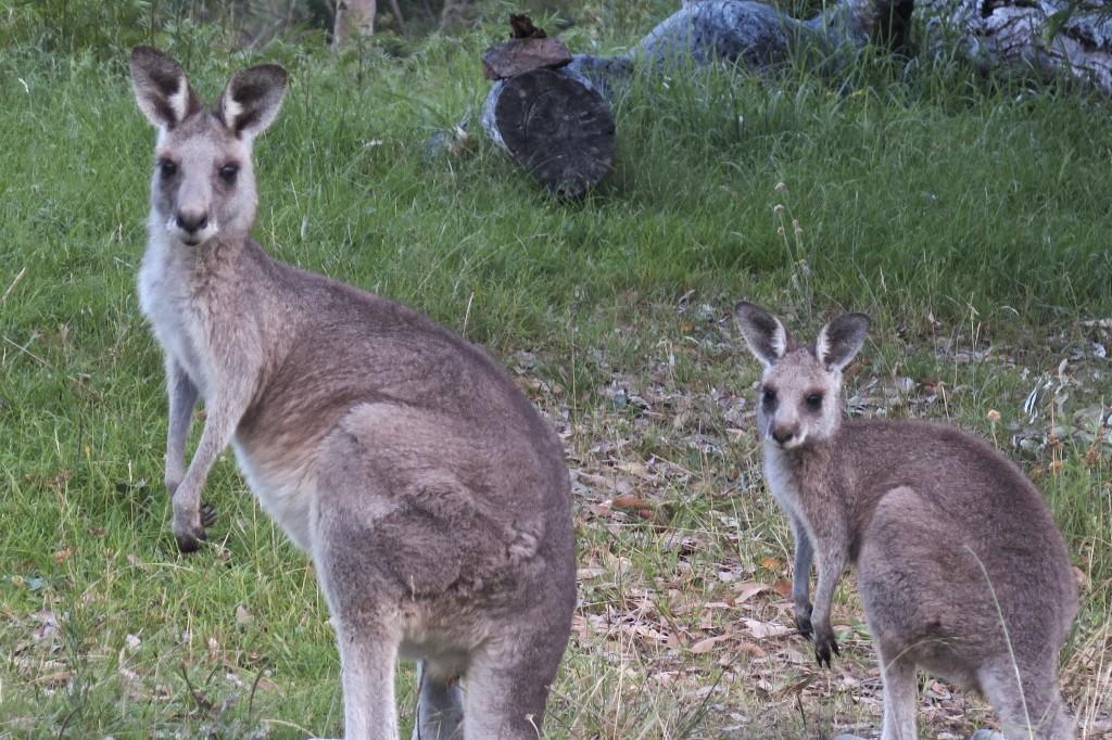 Kangourous au campsite Dunphys, Megalong Valley