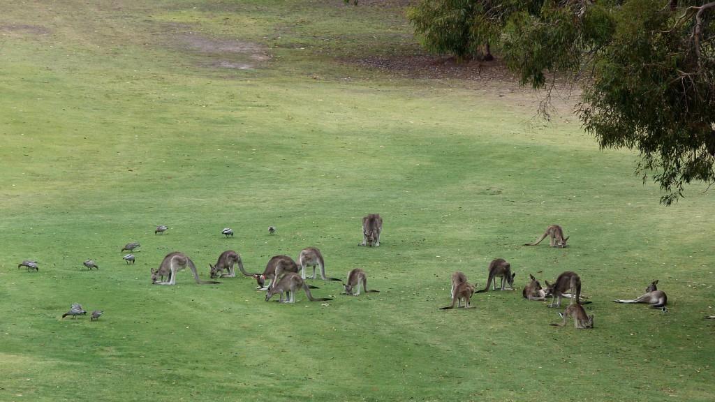 Kangourous au golf de Anglesea