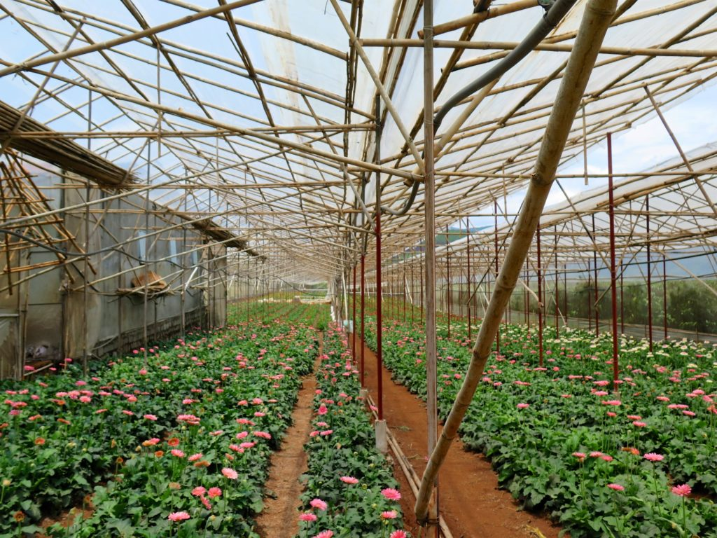 Plantation roses Dalat Vietnam blog voyage 2016 6