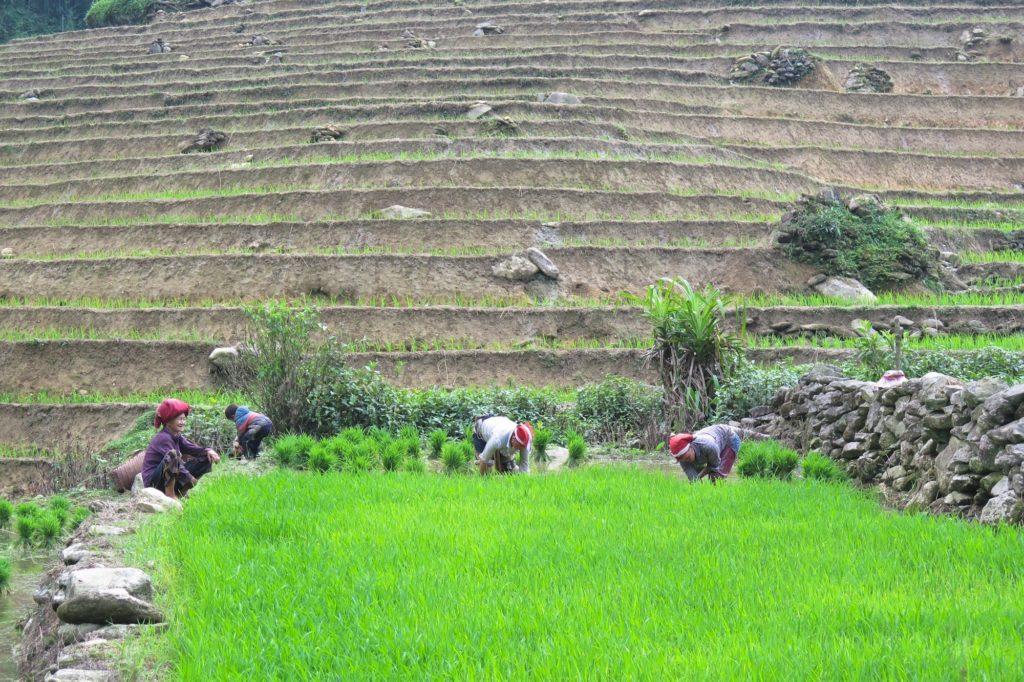 Travail rizieres Trek Sapa Vietnam blog voyage 2016 33