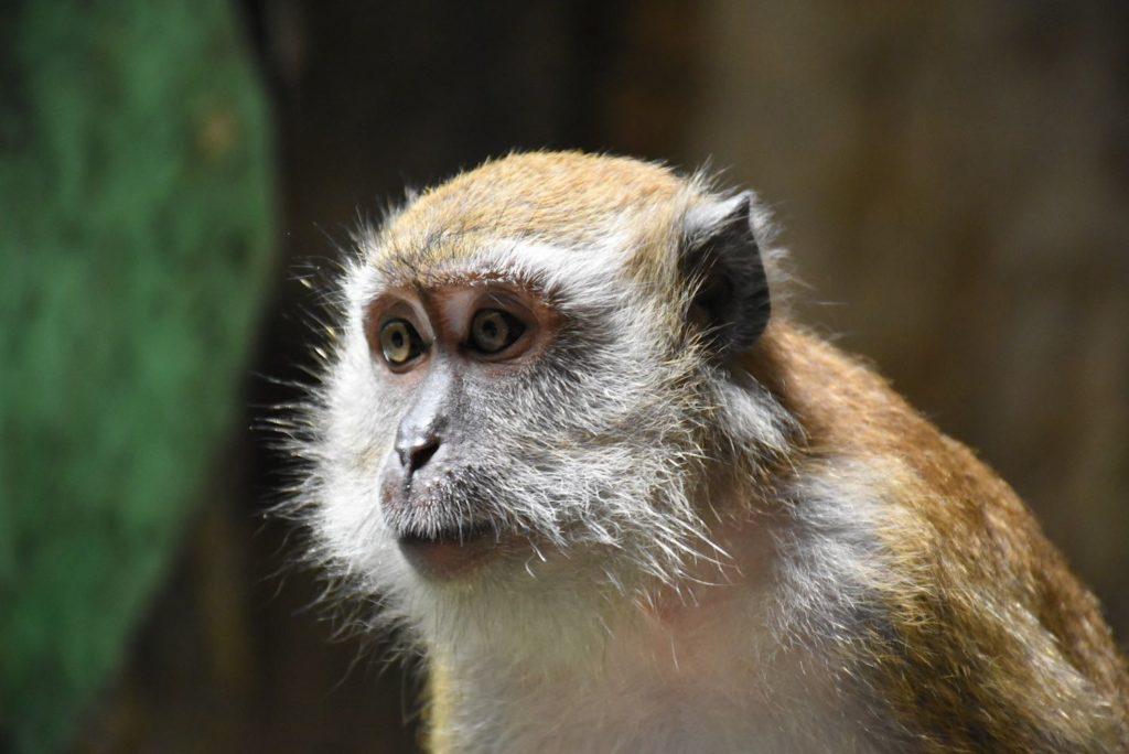 Singes Batu Caves Kuala Lumpur Malaisie blog voyage 2016 26