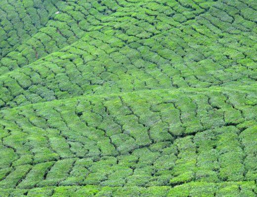 Bharat Tea Plantation Tanah Rata Cameron Highlands Malaisie blog voyage 2016 22