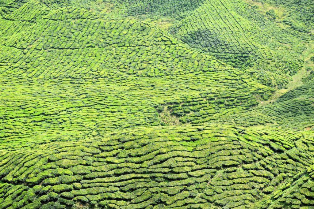 Bharat Tea Plantation Tanah Rata Cameron Highlands Malaisie blog voyage 2016 29