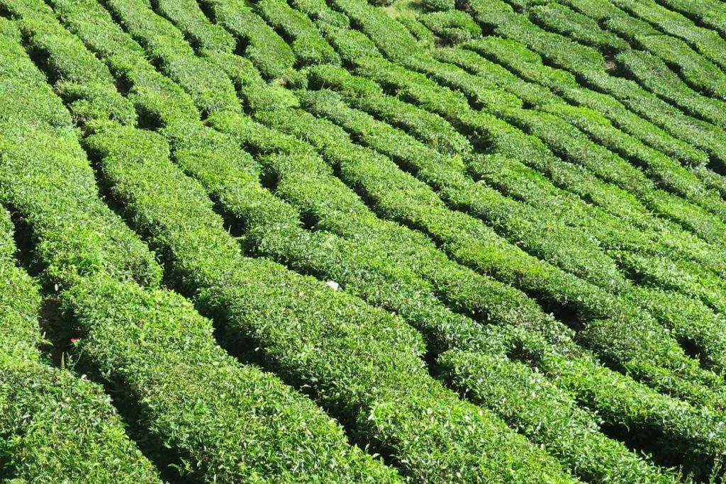 BOH Tea Plantation Tanah Rata Cameron Highlands Malaisie blog voyage 2016 5