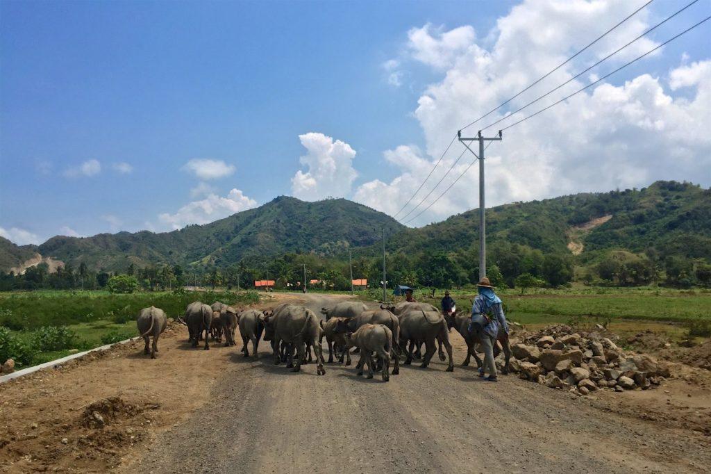 Buffalo plages-kuta-lombok-indonesie-blog-voyage-2016-13