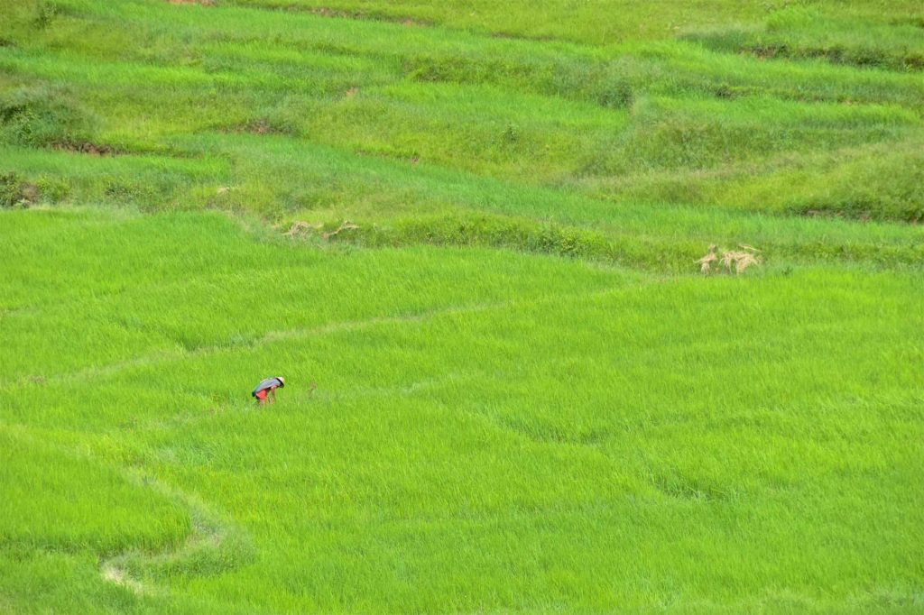 Travailleur rizieres Trek-Kalaw-Inle-Myanmar-blog-voyage-2016 46