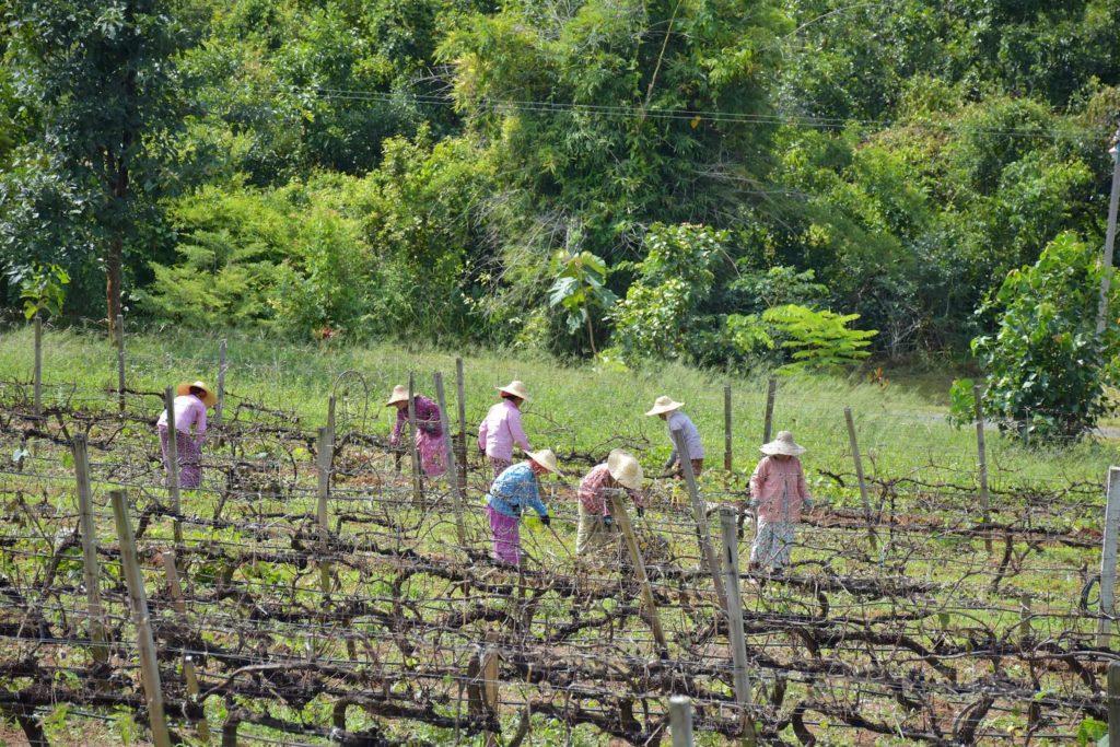 Vignes Lac-Inle-Myanmar-blog-voyage-2016 11