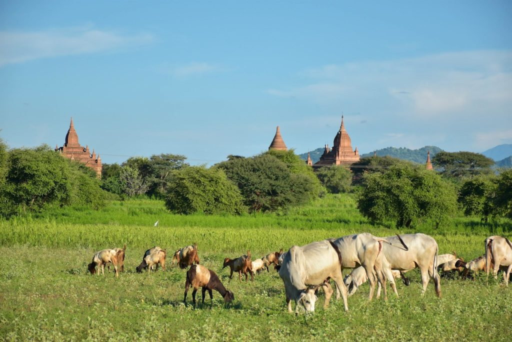 Troupeau Decouverte-Bagan-Myanmar-Birmanie-blog-voyage-2016 25