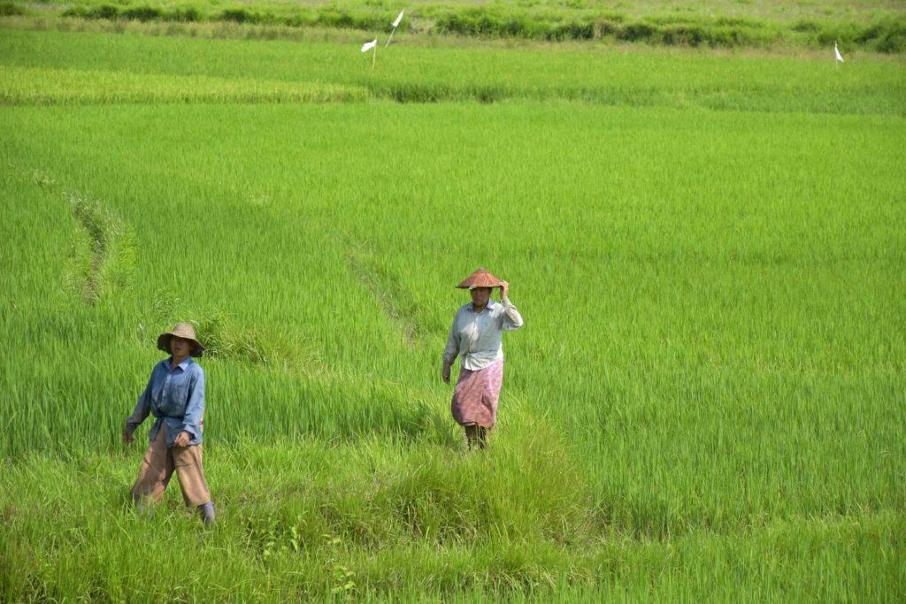Rizières Pyin-Oo-Lwin-Gohteik-Myanmar-blog-voyage-2016 5